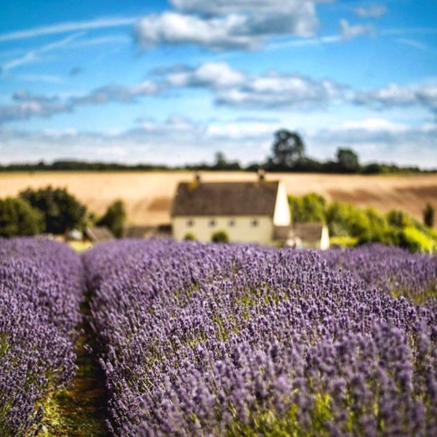 Indulge your senses at the lavender farm in Bath.